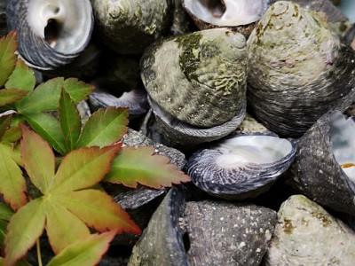 佐伯湾でとれる「にいな貝」味わいが濃くお酒、焼酎に良く合います。